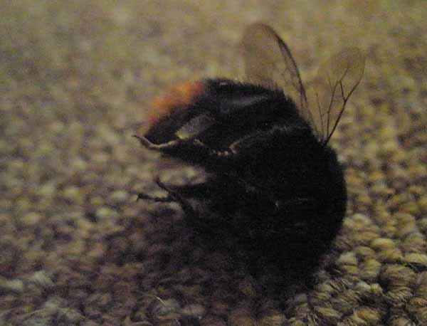 Dead_bee