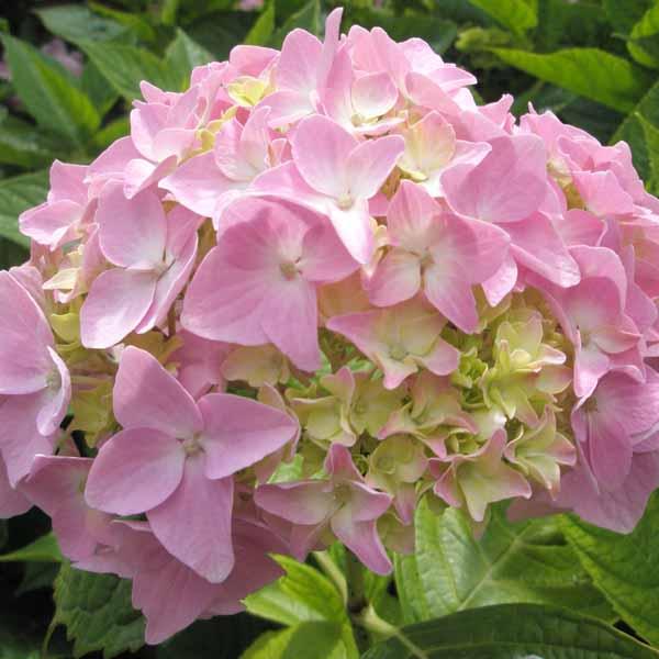 Pale_pink_hydrangea