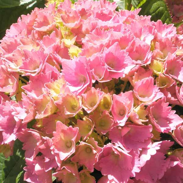 Mid_pink_hydrangea