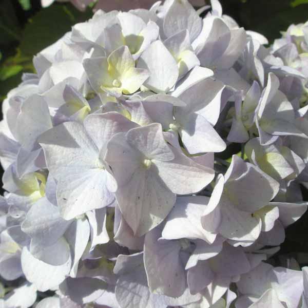 Pale_blue_hydrangea