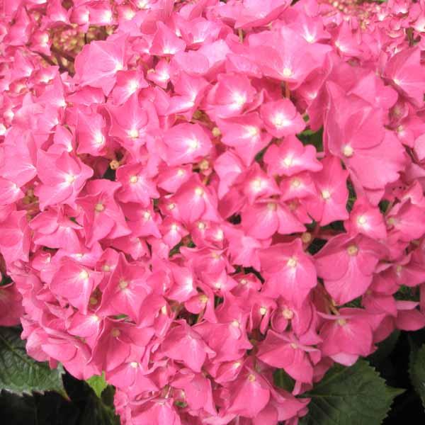 Hot_pink_hydrangea