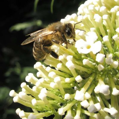 Bee_on_buddleia