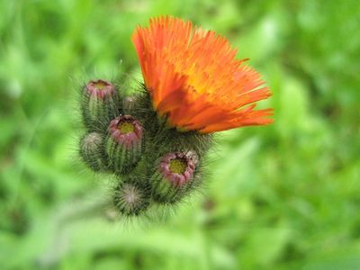 Bright orange flower surrounded by buds