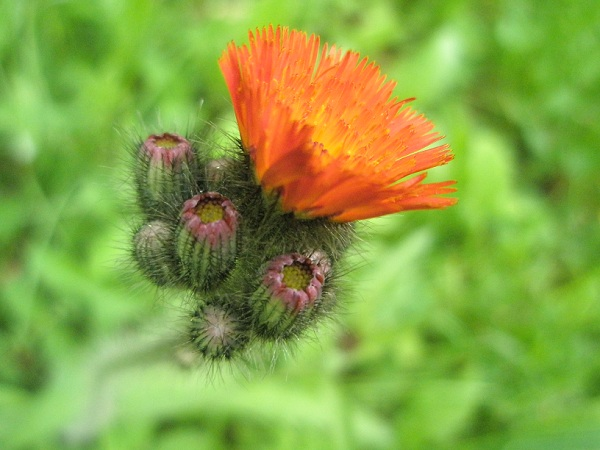Orangehawkweed1