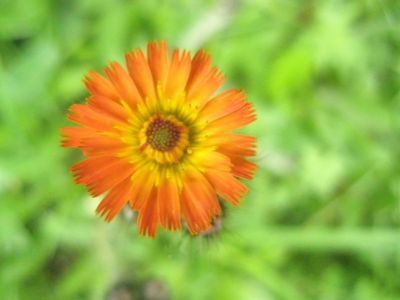 Aerial view of bright orange flower