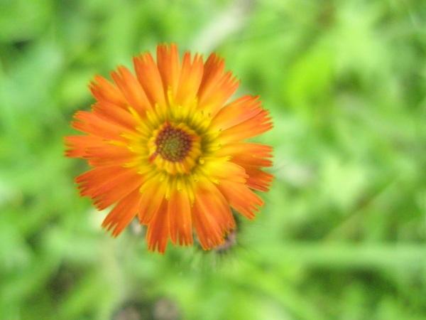 Orangehawkweed2